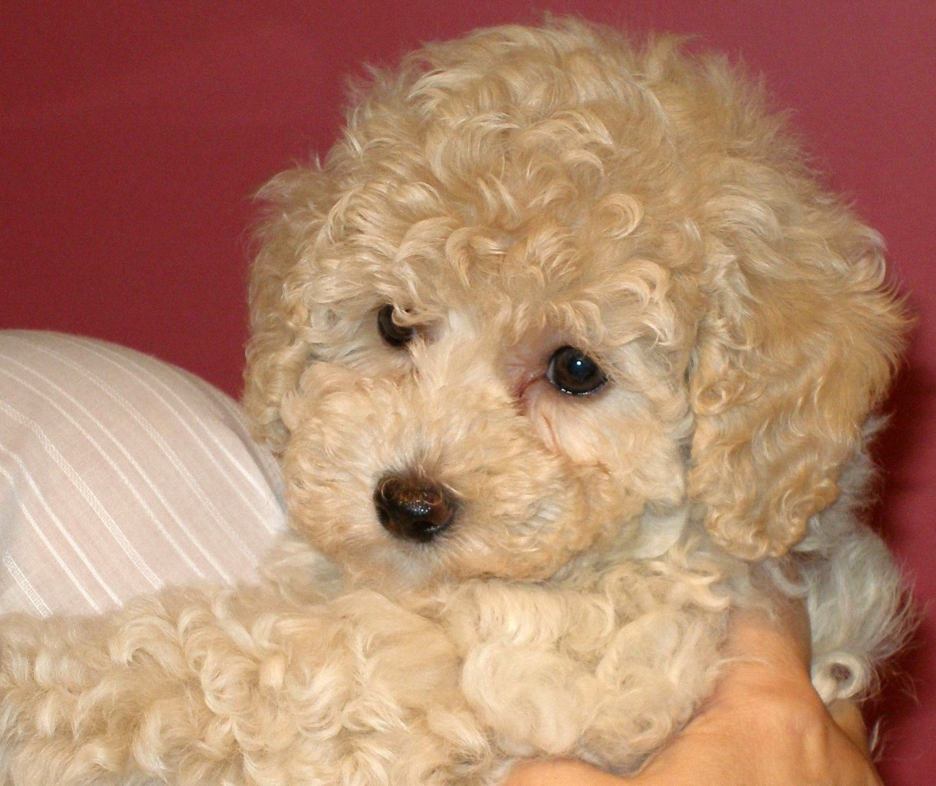 Welcome To The Bichon Poo Review Bichon Hybrid Dogs Cute Dogs