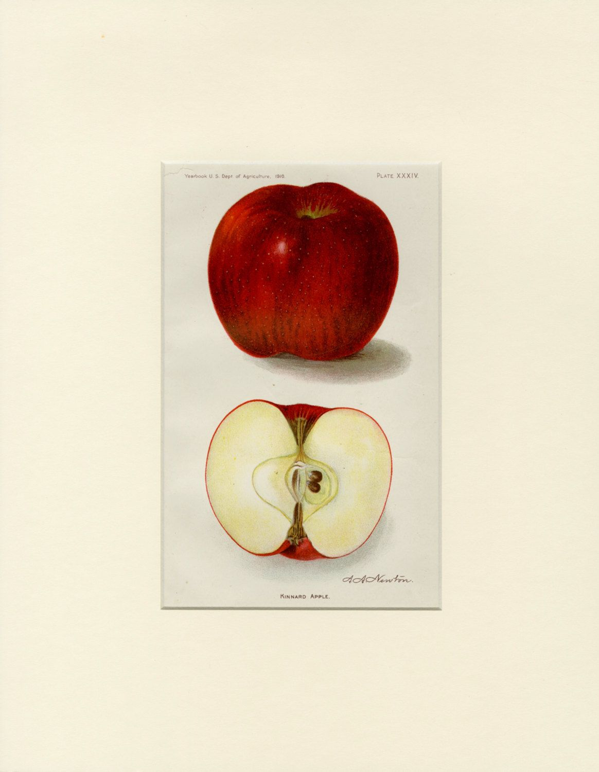 Vintage APPLE Wall Art - Antique Fruit Print \
