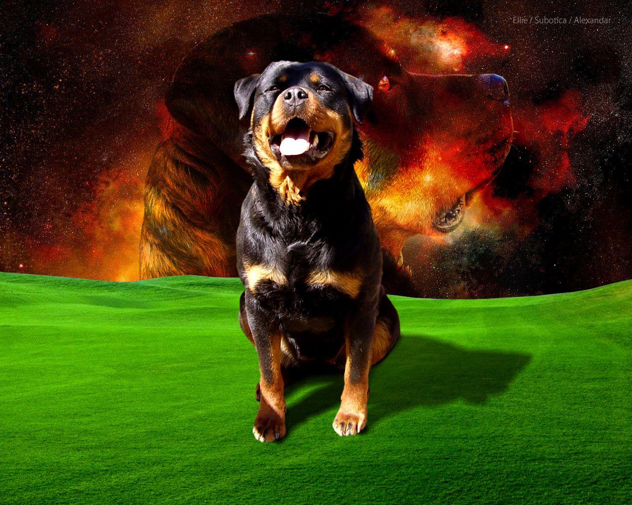 Rottweiler Wallpapers 1800 1200 Rottweiler Wallpaper 34 Wallpapers Adorable Wallpapers Dog Wallpaper Rottweiler Rottweiler Love