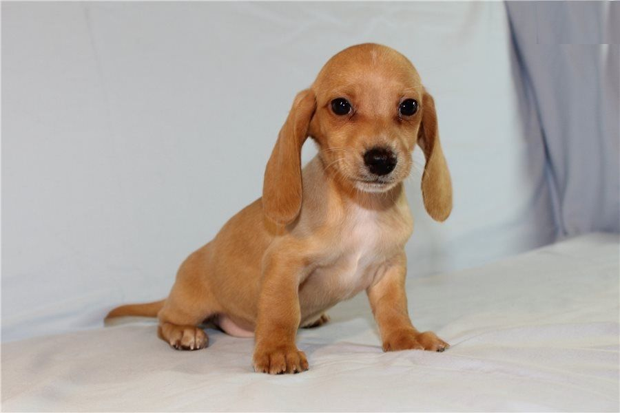 Available puppies dacshund homes here puppies