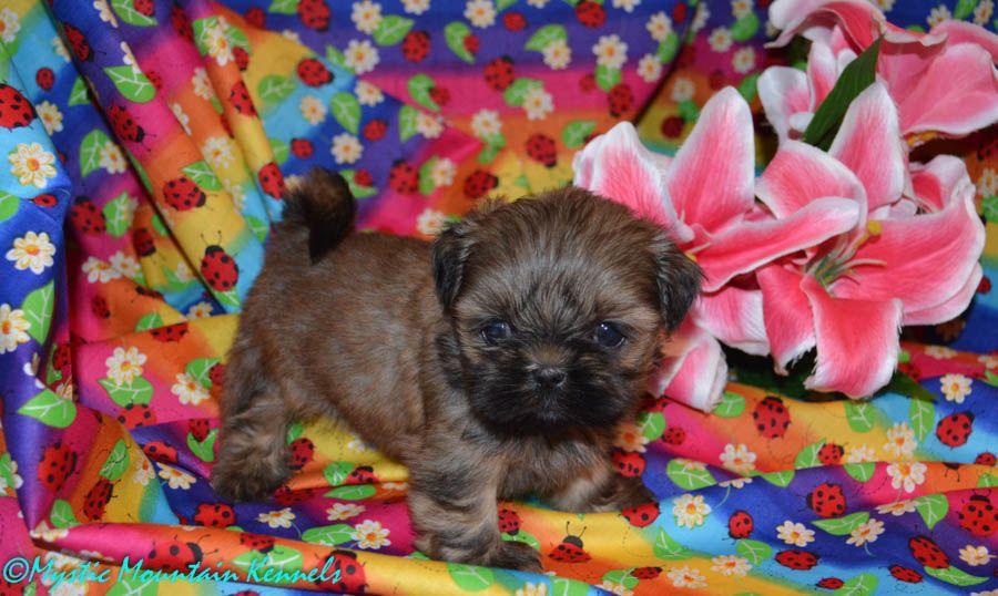 Yorkshire Terrier Shih Tzu Teacup Yorkie Akc Yorkies Shihtzu