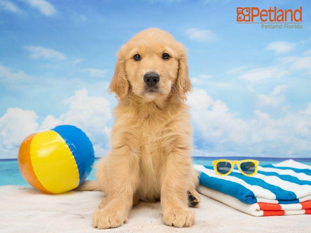 Petland Florida Has Golden Retriever Puppies For Sale Interested