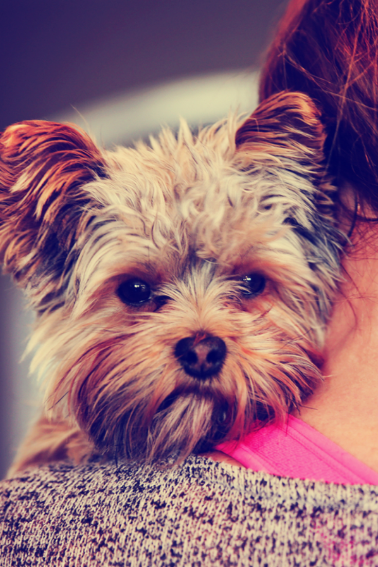A Cute Yorkshire Terrier Peeking From Around A Woman Toned With A Retro Vintage Instagram Filter Effect App Yorkshire Terrier Terrier Yorkshire Terrier Puppies