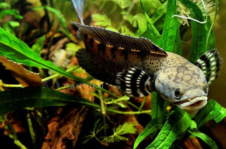 Pin By Cinar Bal On Aquascape Snakehead Fish Fish Aquarium Fish