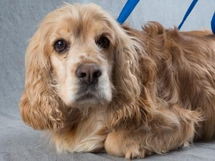 Adopt Marley A Lovely 6y 11m Spaniel American Cocker Available For Adoption At Petango Com Save A Dog American Cocker Spaniel Cocker Spaniel
