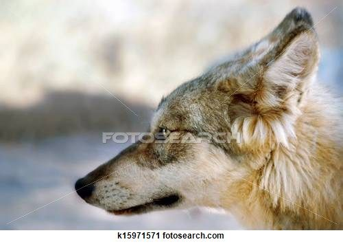 Timber wolf Stock Photo Images. 867 timber wolf royalty free pictures and photos available to download from over 100 stock photography brand...