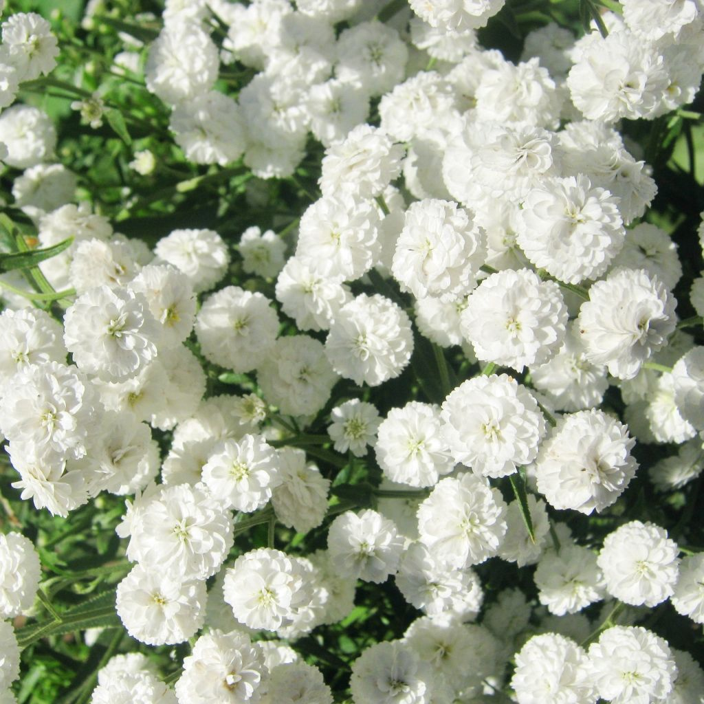 100 types of the most beautiful white flowers for your garden types of the most beautiful white flowers for your garden dhlflorist Choice Image