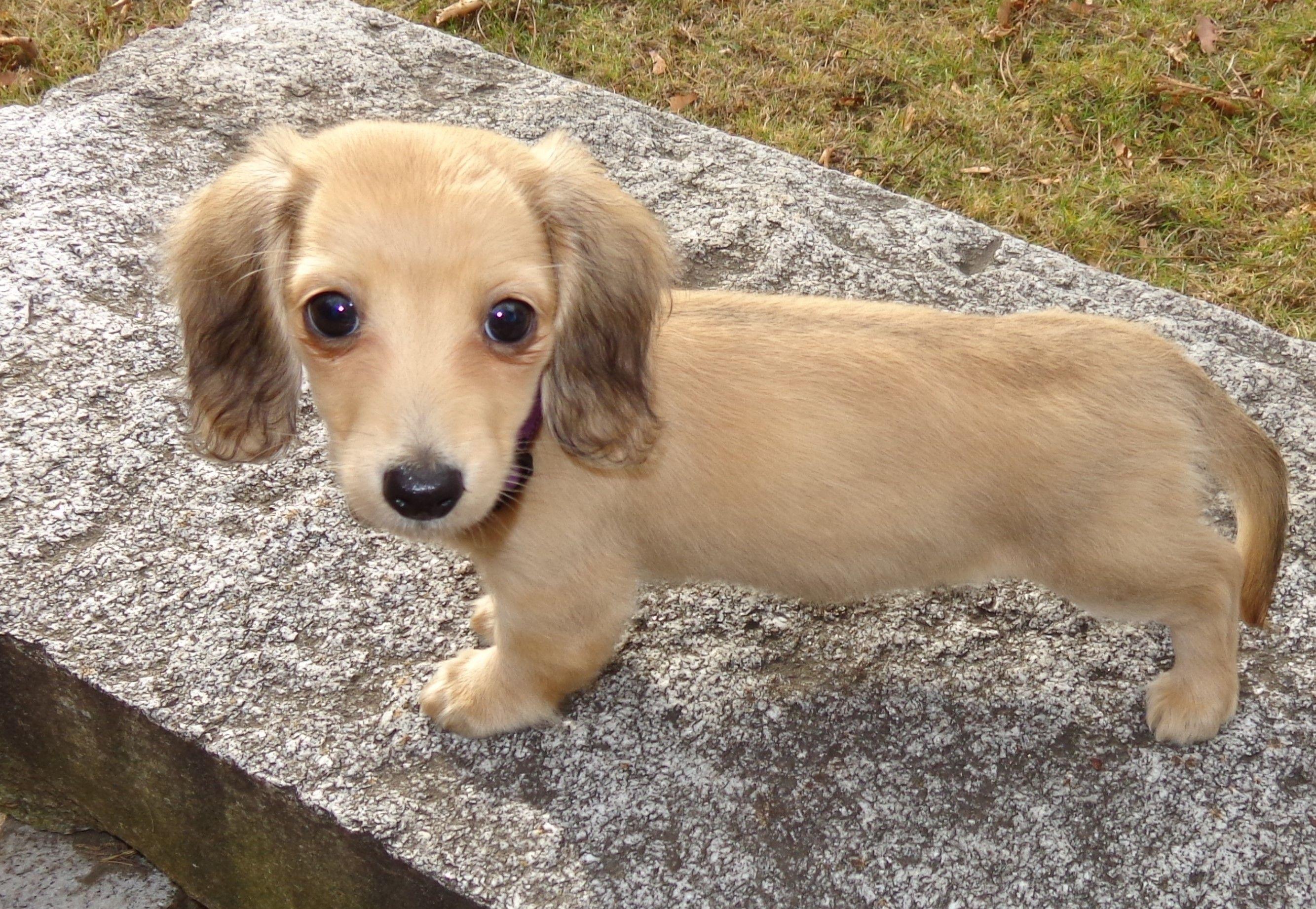 Cute English Cream Mini Dachshund Puppy Weenie Dogs Cute Animals Dachshund