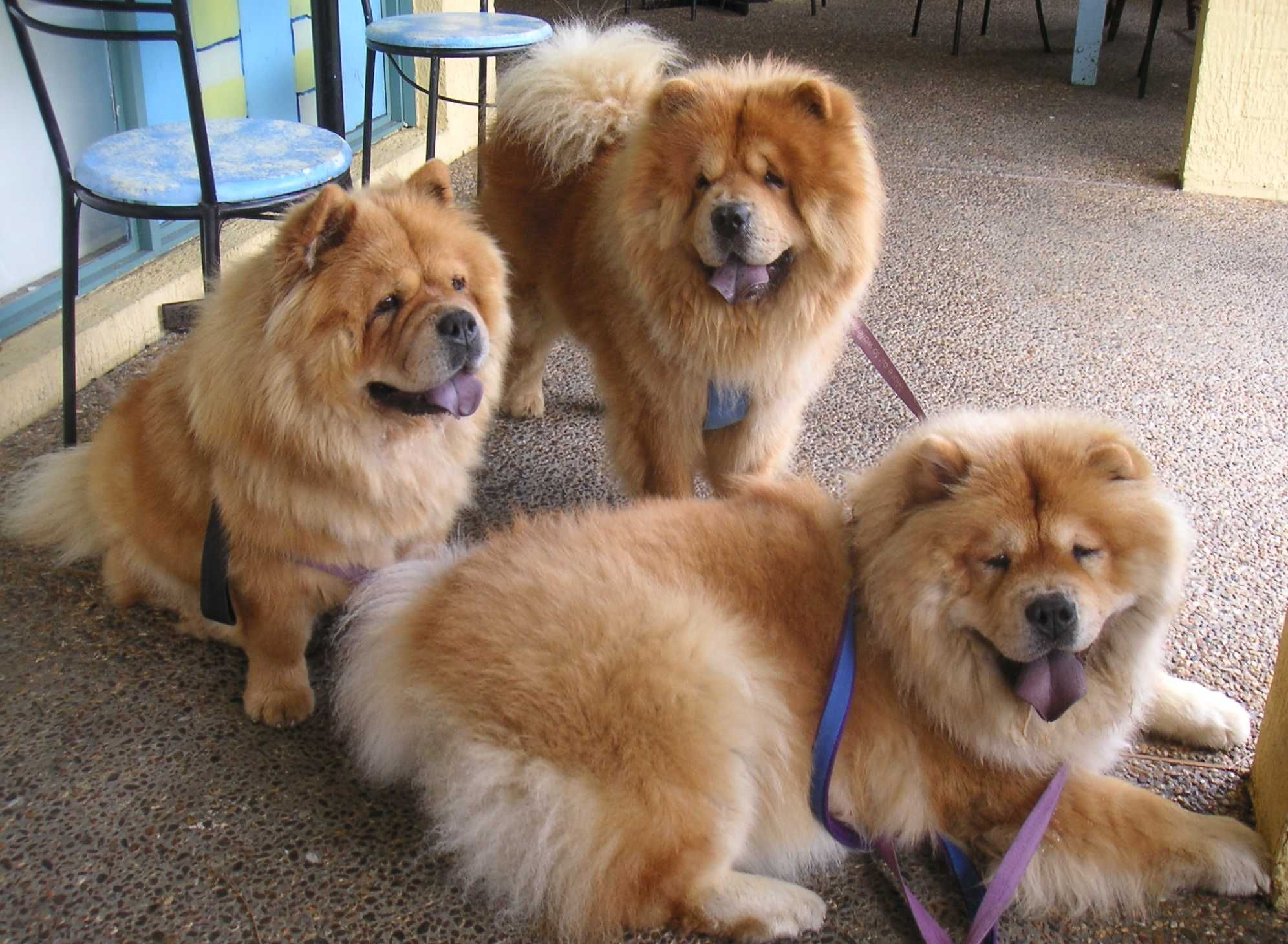 Three Adult Chow Chow Dogs Dogs Animal Chien Animaux