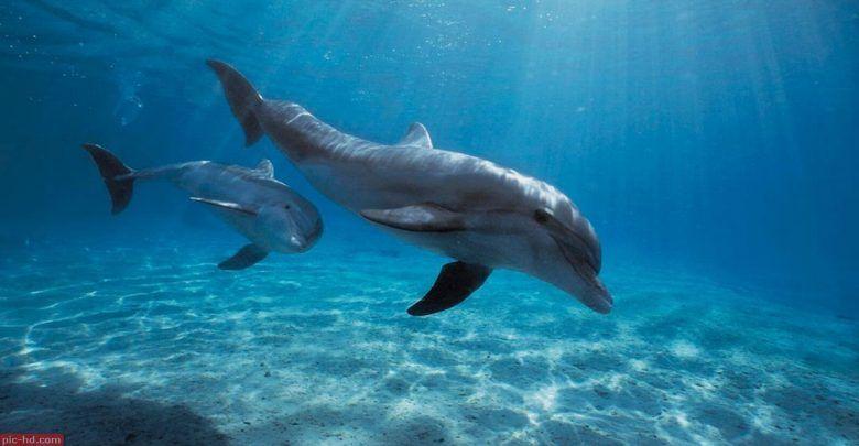 صور الدولفين معلومات عن الدولفين واماكن تواجده Dolphins Animals Bottlenose Dolphin