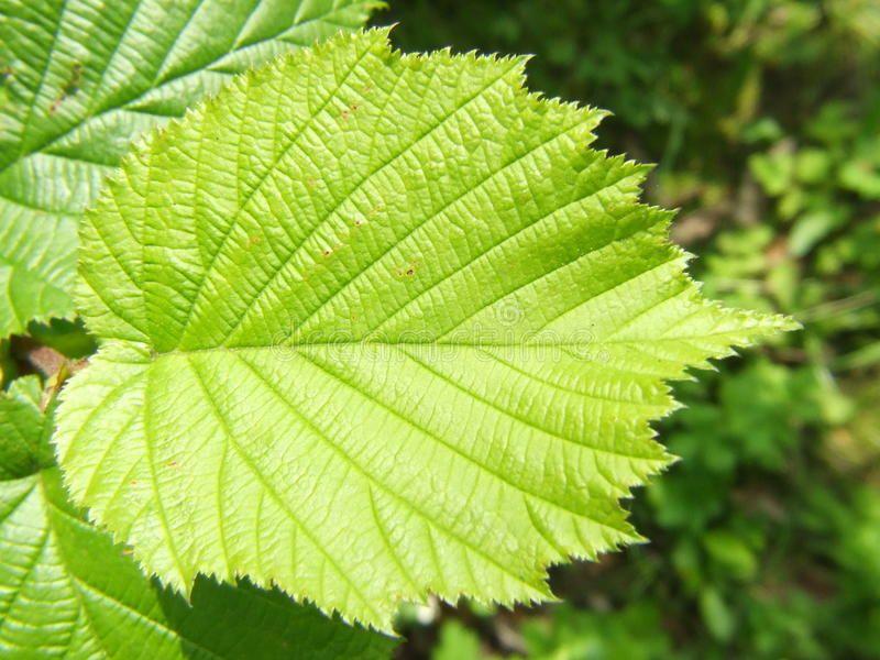 Hazel Tree Filbert Leaf This Is A Leaf Of A Tree Which Births