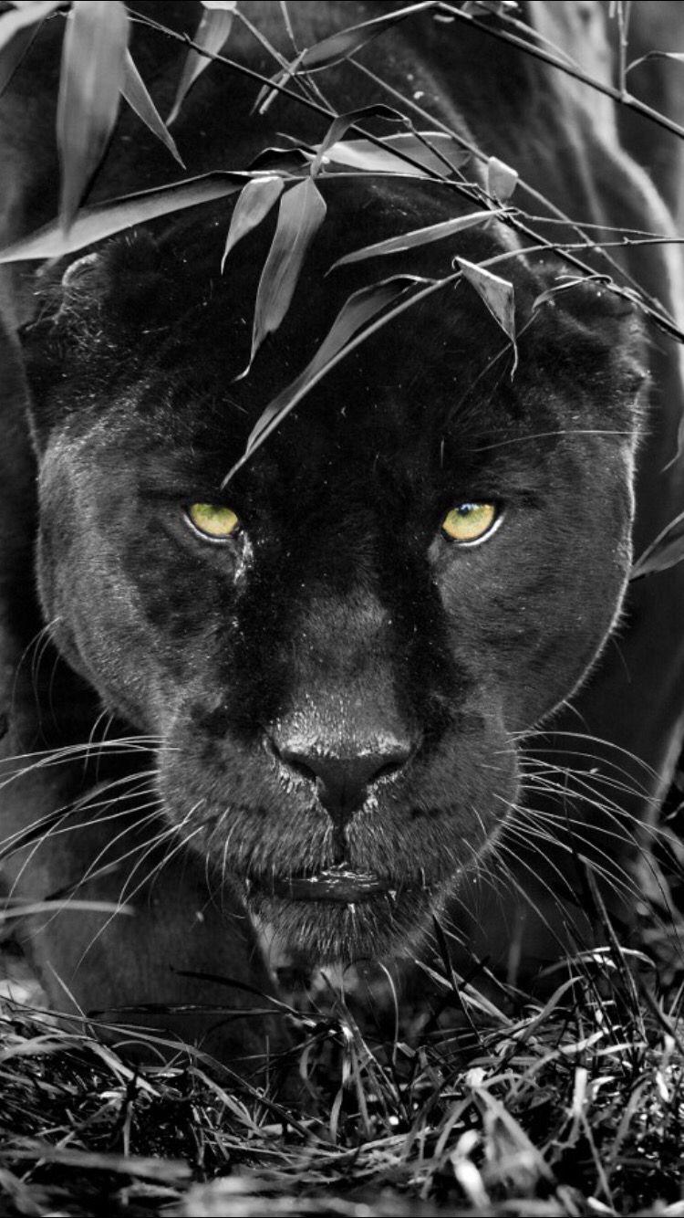 Amazing puma | Zwarte panter, Grote katten, Zwarte jaguar