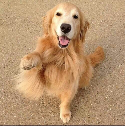 High Five Golden Retriever Retriever Dogs