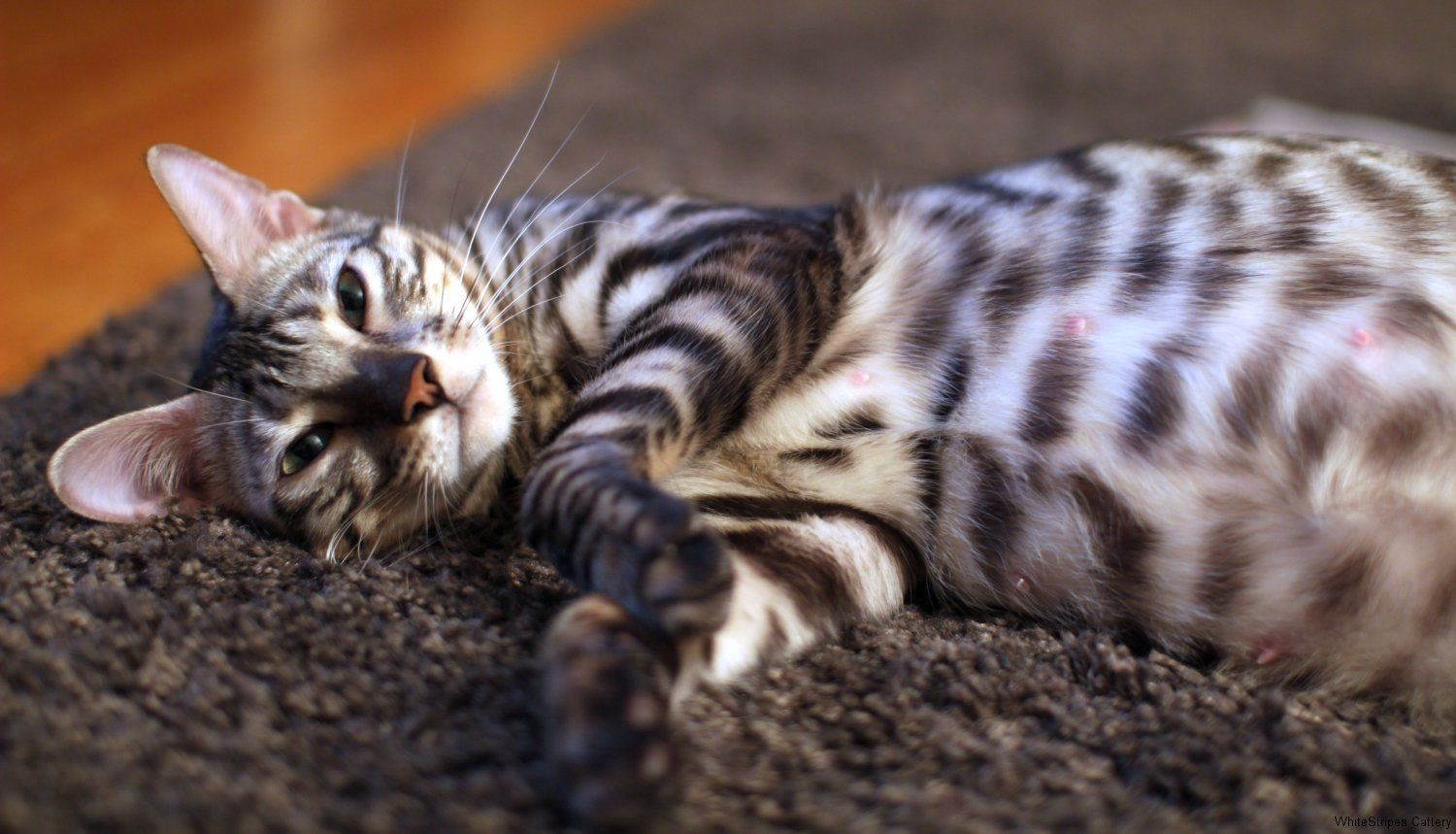 Toygerland Lalique A silver Toyger female now living in