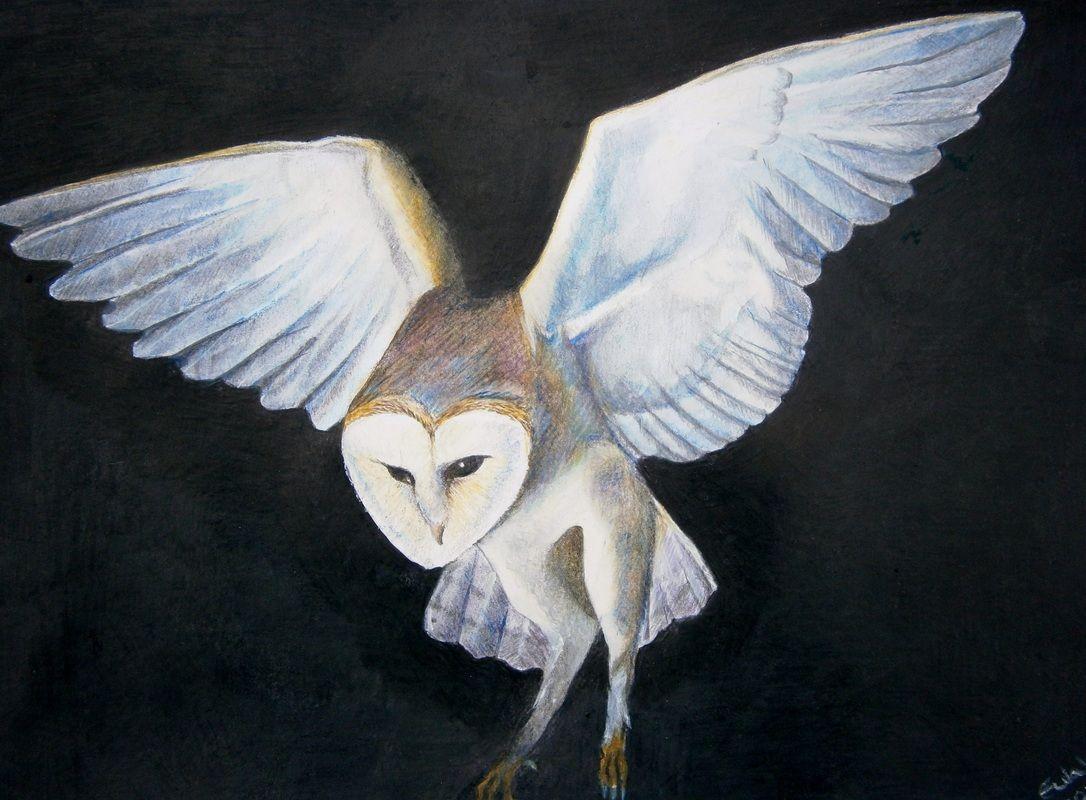 Barn Owl - Original Drawing by Eula Wilkin  Water soluble Caran D'Ache Supracolor Soft Aquarelle Pencils  on 180gm Cartridge Paper.   UnframedDrawn area 20cm by 29cm