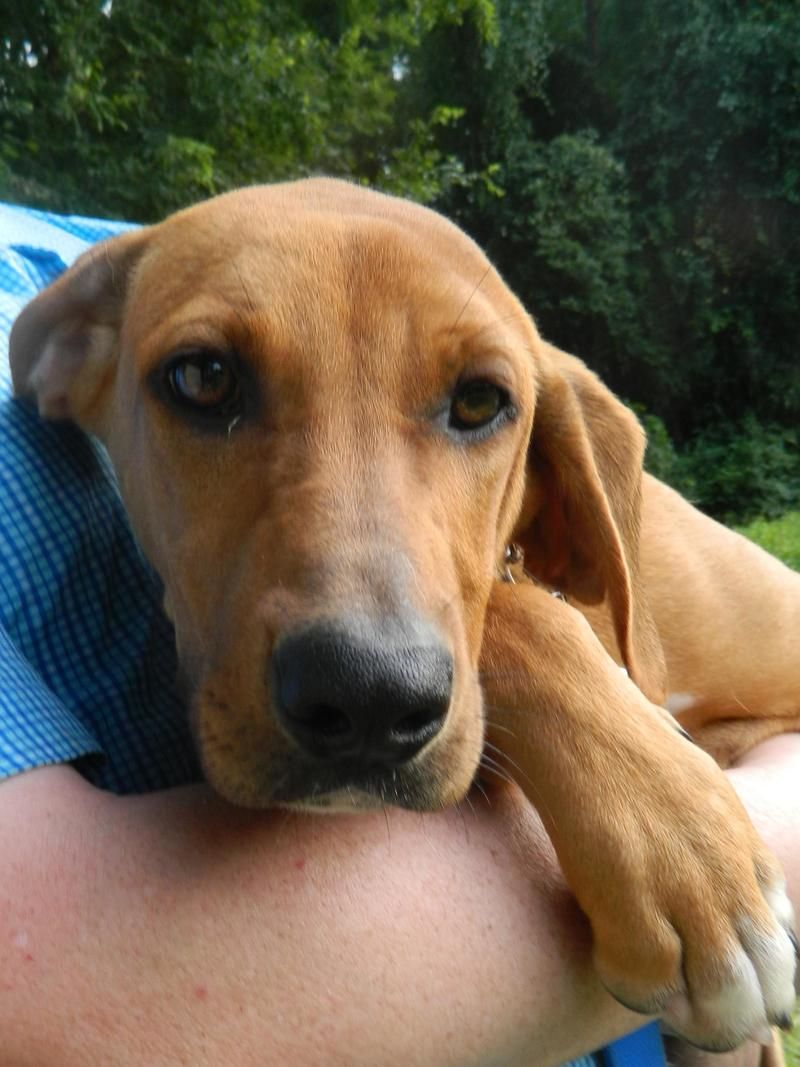 Adopt sally on petfinder redbone coonhound hound dog