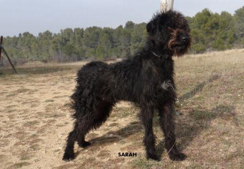 SARAH Type : Griffon Sexe : Femelle Age : Junior Couleur : Noir Taille : Grand Lieu : Bouches-du-Rhône - 13 (Provence-Alpes-Côte d'Azur)  Refuge : Refuge S.P.A. des Baux de Provence(Bouches-du-Rhône)   Tél : 04 90 54 60 86