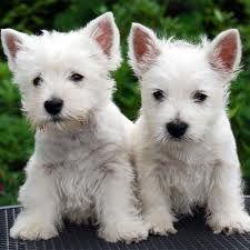 Perro Westy Buscar Con Google Westie Puppies Westie Dogs Westies