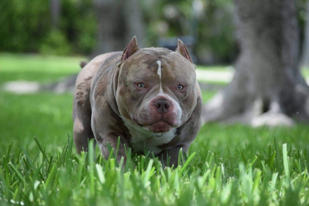 Top American Bully Bloodline Venomline Pocket Bully Puppies
