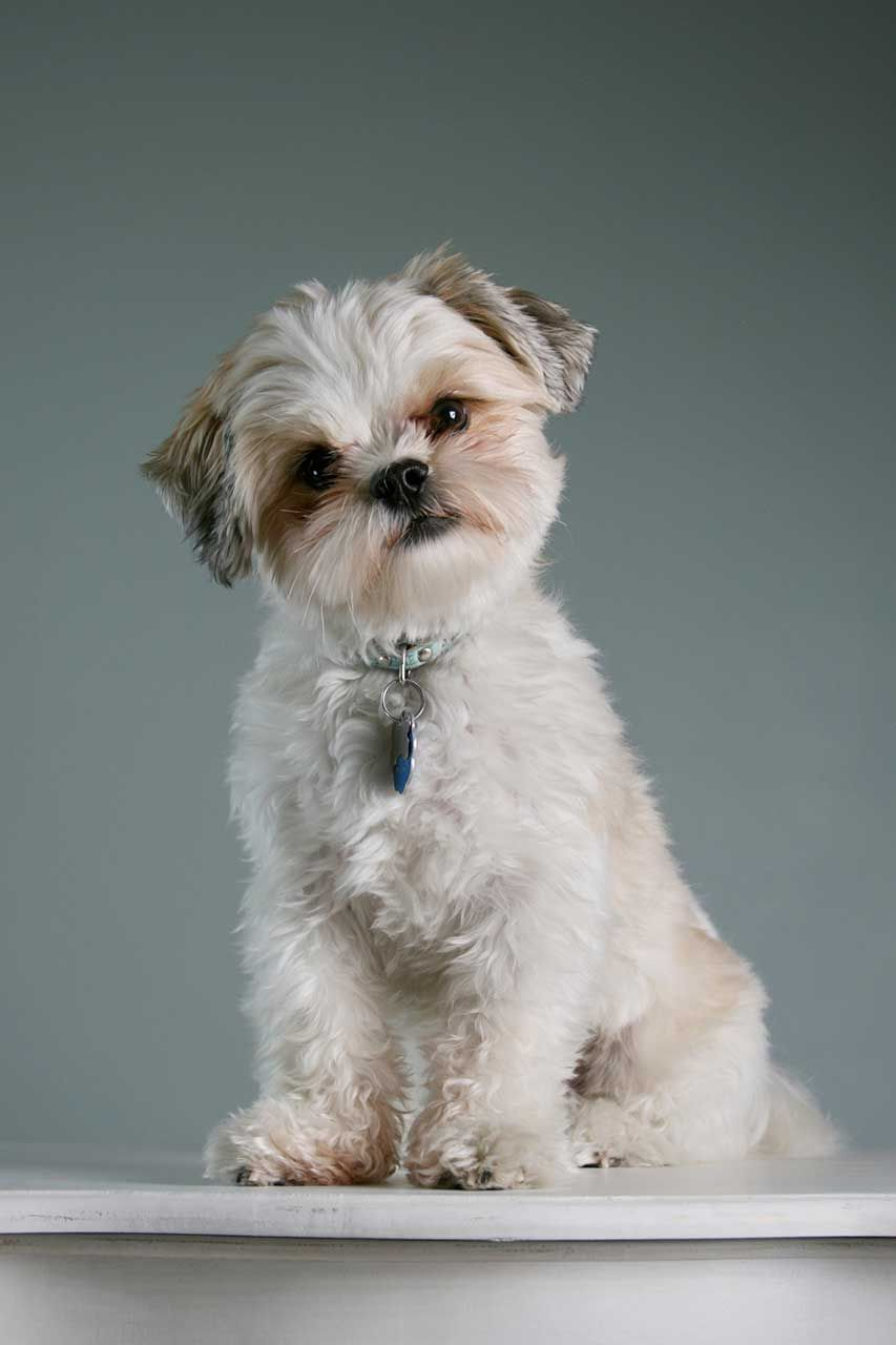 Discover Best Pup Stuff for your beloved Maltese Shih Tzu