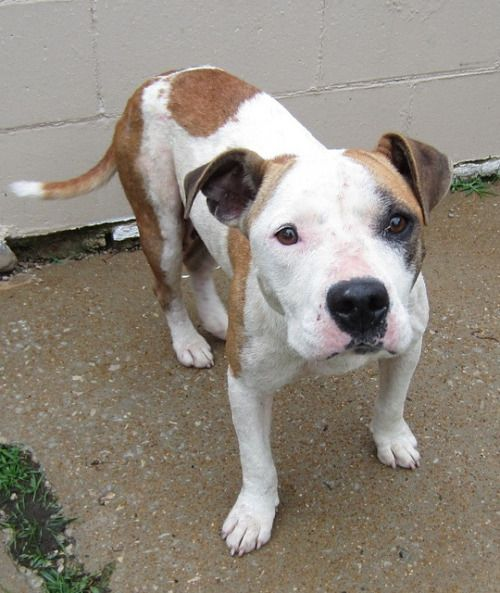 Bullysmiles Female 2yrs White Brown Pitbull Dog 255095 Avail