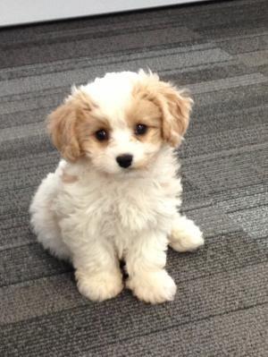 Cavachon Puppy Cavalier King Charles