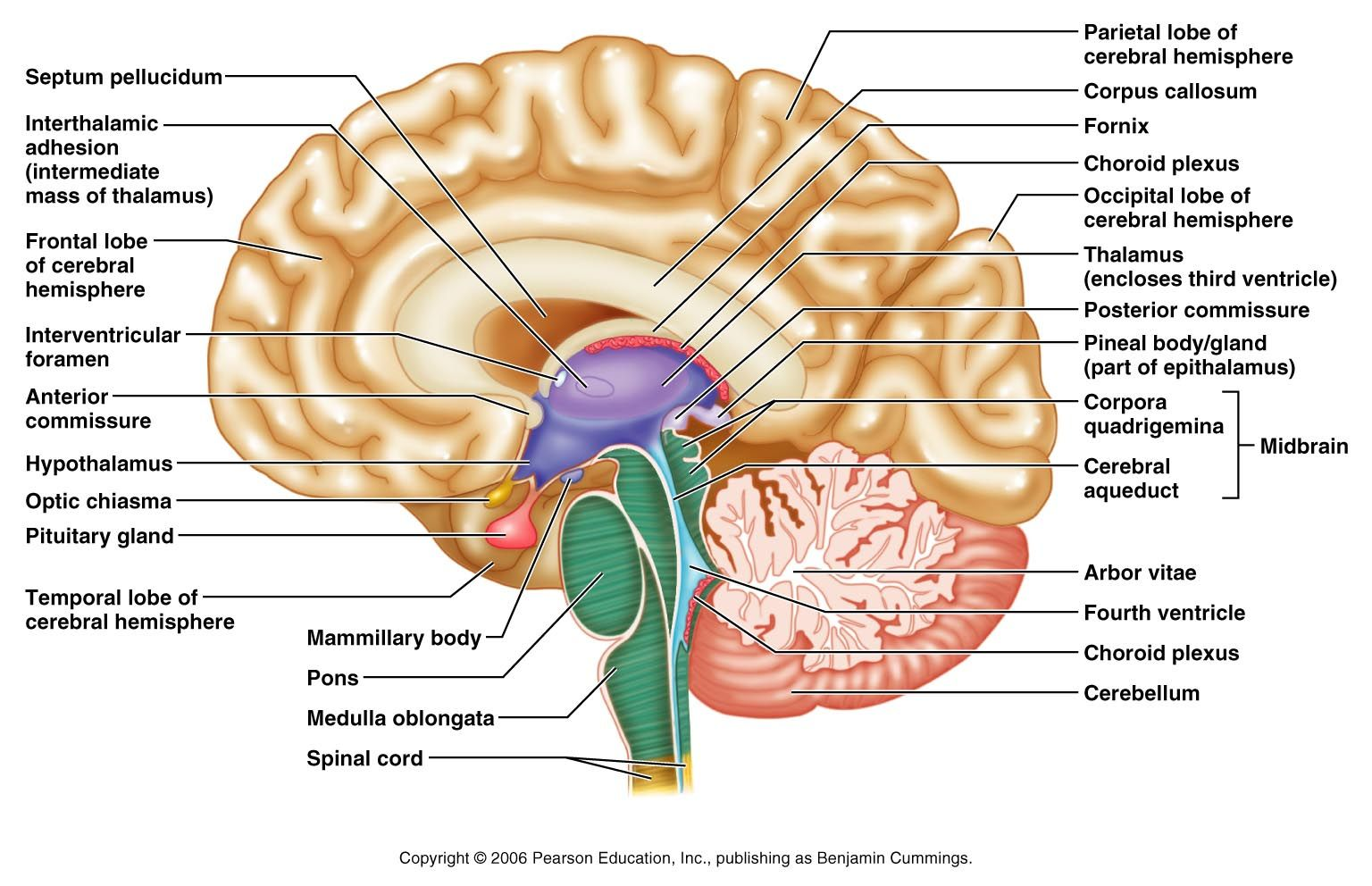 Sagittal Section Of The Brain Thalamus Hypothalamus Optic Chasm Pituitary Gland Pons