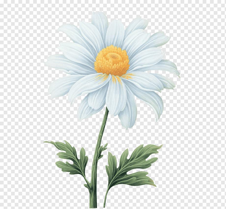 White Daisy Illustration Common Daisy Flower Transvaal Daisy Watercolor Flowers Watercolor Daisy Painting Daisy Flower Drawing Watercolor Flowers Paintings