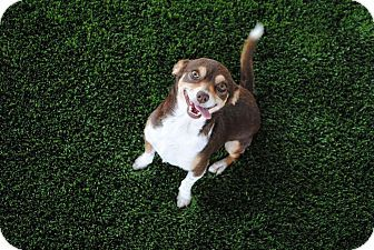 Calgary Ab Chihuahua Dachshund Mix Meet Foxie A Dog For Adoption Dachshund Mix Dog Adoption Chihuahua