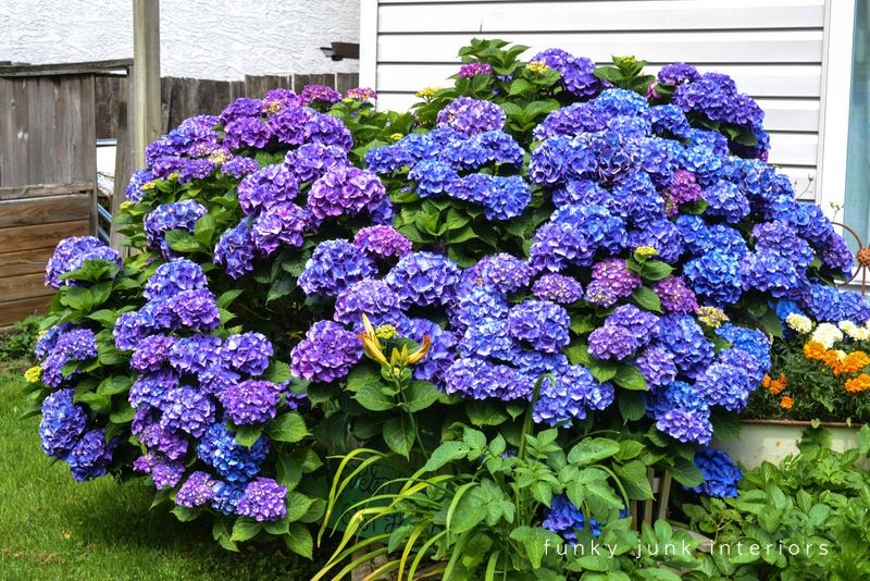 How To Harvest And Dry Multicoloured Hydrangeas Florida