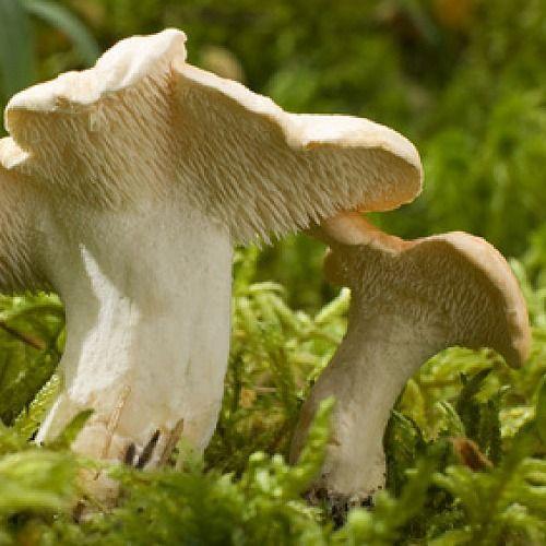 Pied de Mouton Mushrooms (November) edible   Pied de ...