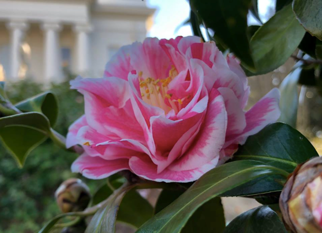 Beauty And History The Story Behind Alabama S State Flower The Camellia This Is Alabama Flowers Flower Beauty Sweet Home Alabama