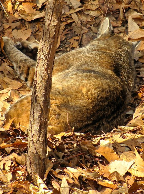 Let the Bobcat sleep
