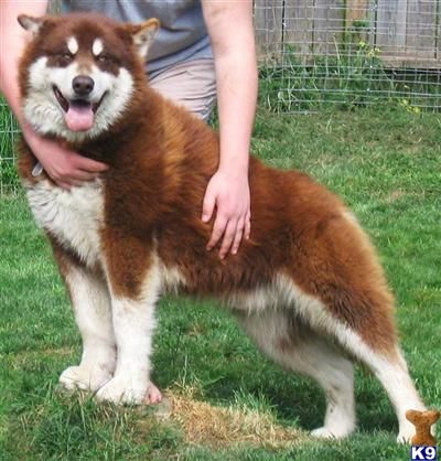red alaskan malamute | K9 (+other pet interest) | Pinterest