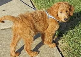Mini Goldendoodle Size Google Search House Dog Pinterest