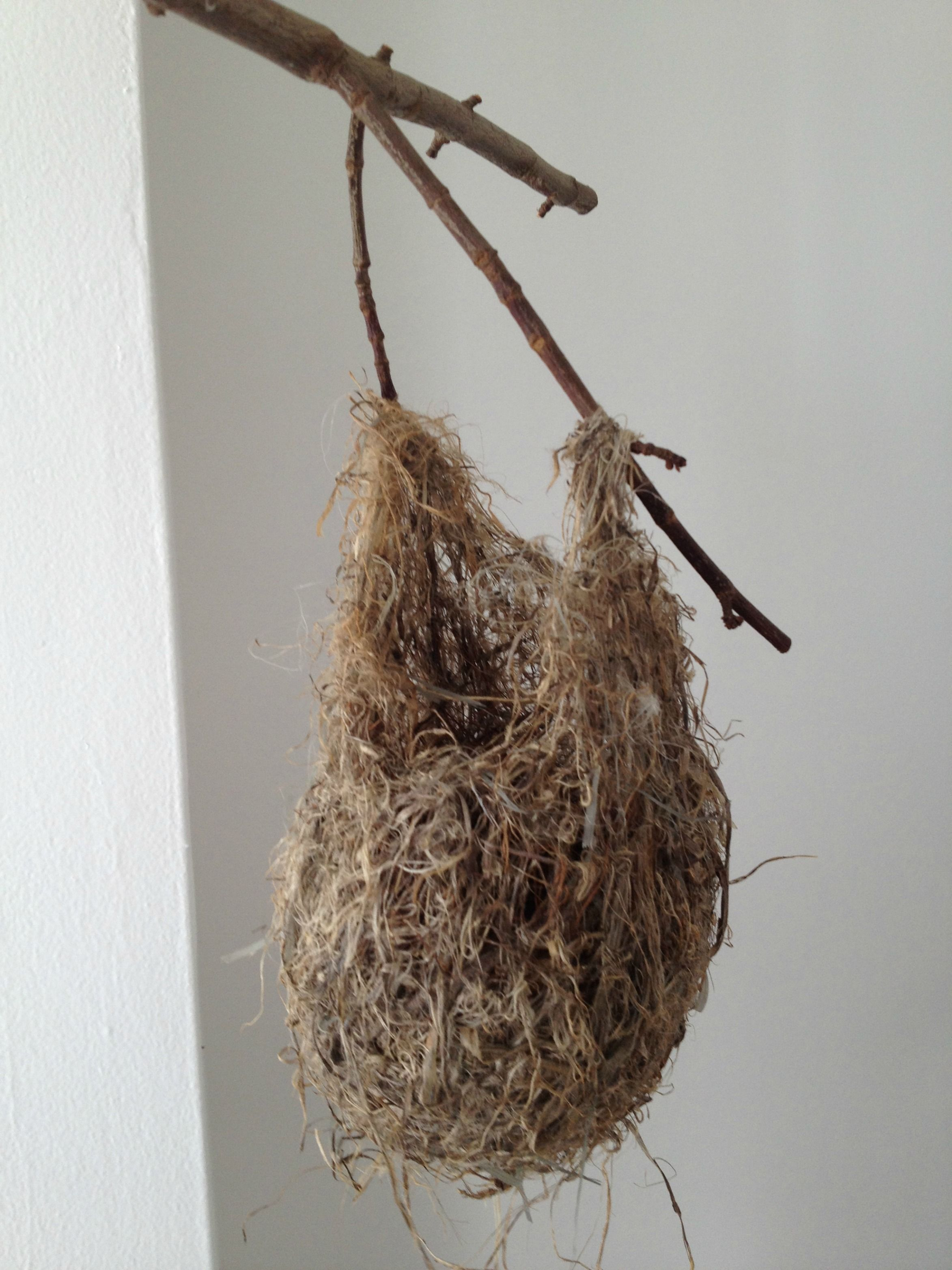Nest For A Baltimore Oriole From Michigan In The 80 S Bird Feathers Nest Birds