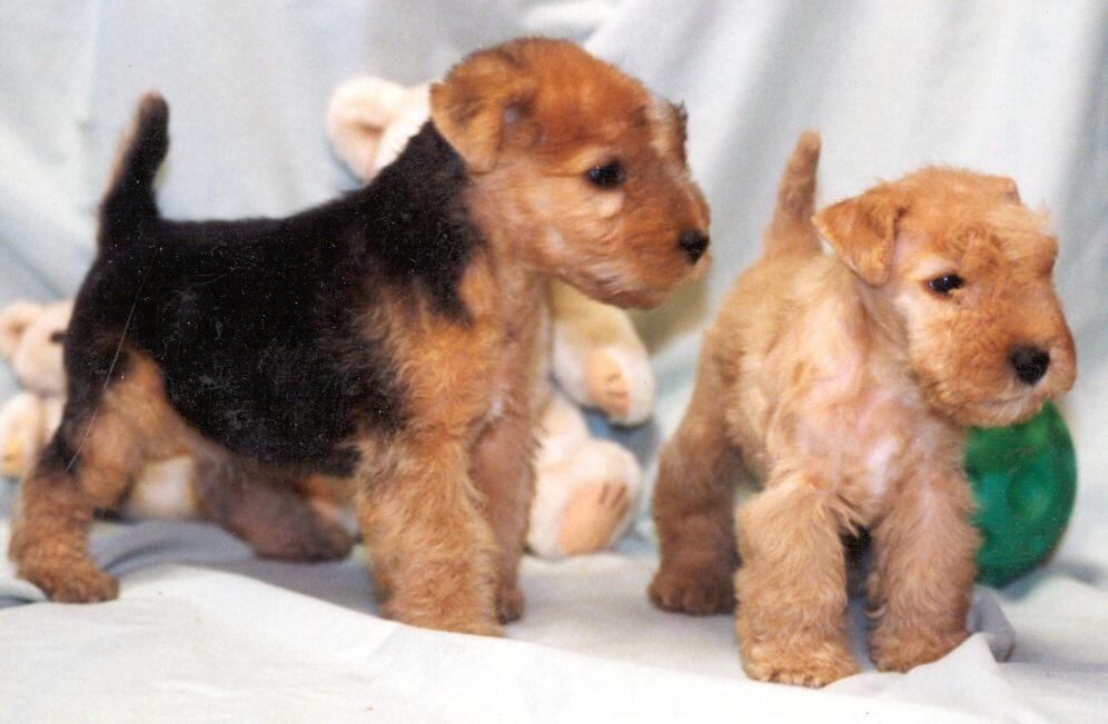 Ungewöhnlich Wirehaired Terrier Mix Welpen Temperament Bilder ...