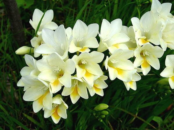 Naturalizing Bulbs For Warm Climates Marde Ross Company Freesia Flowers Beautiful Flowers Garden Love Flowers
