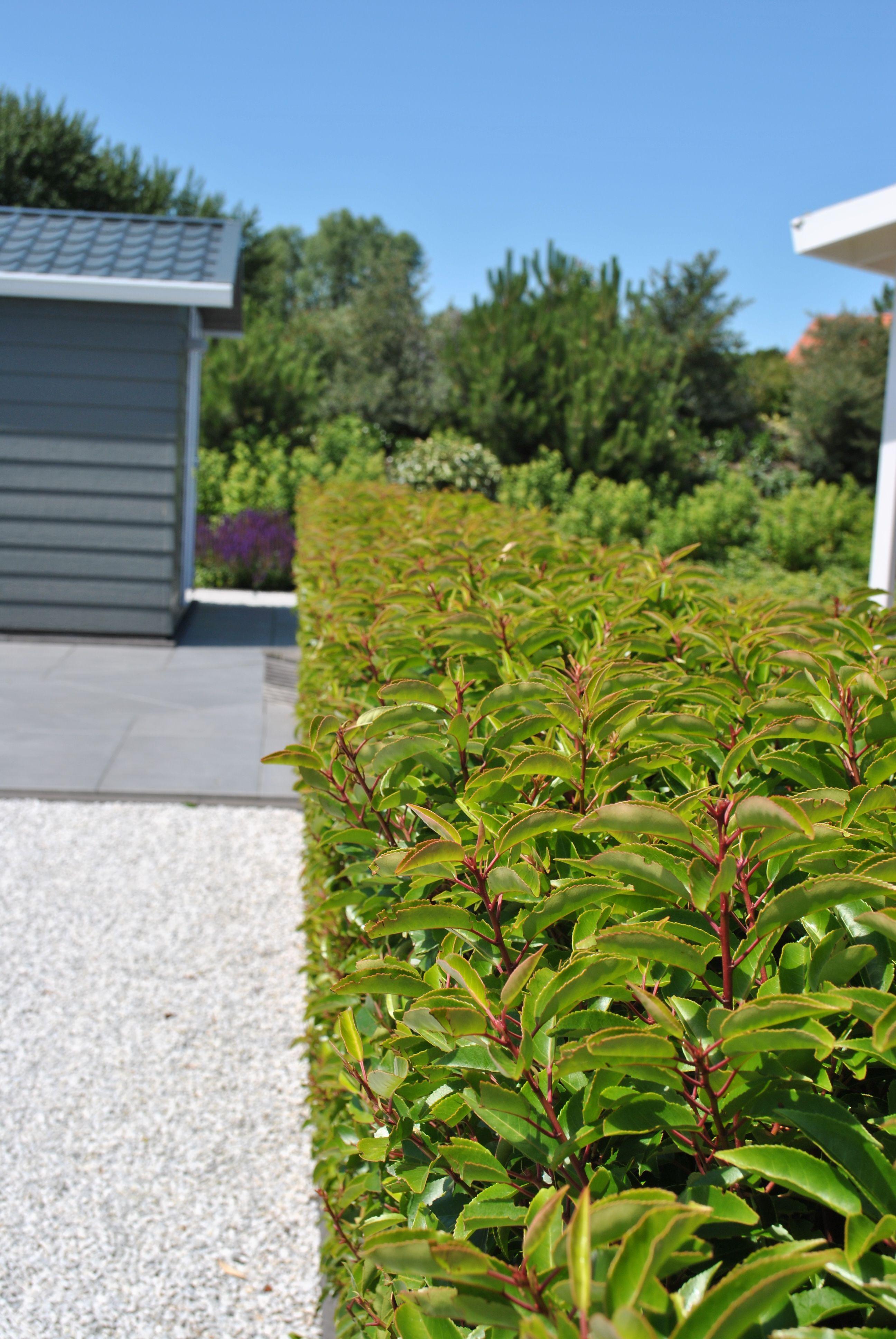 Prunus Lusitanica 'Angustifolia' Donker Groene Kleur