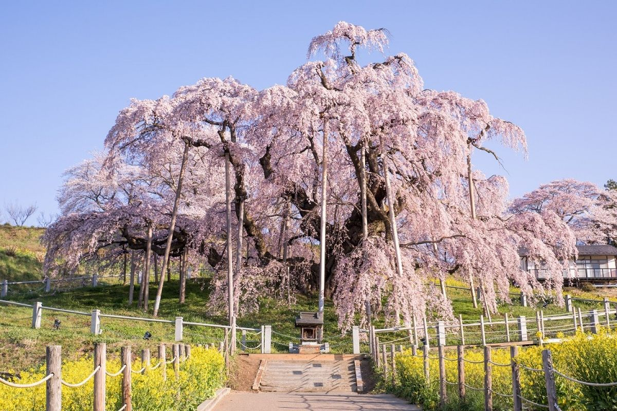 4 Mystical Cherry Trees Of Mountain Villages Zekkei Japan Weeping Cherry Tree Cherry Tree Blossom Trees