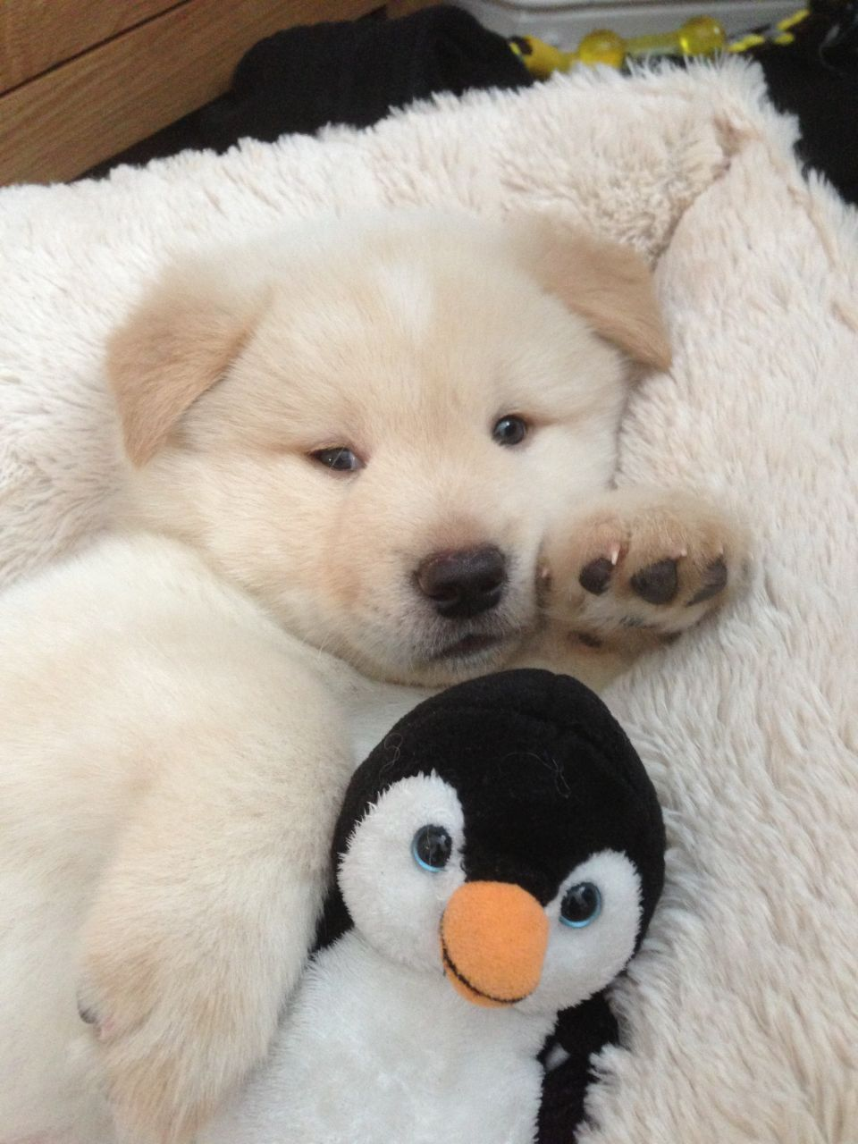 White And Cream Akita Puppy For Sale Liverpool Merseyside