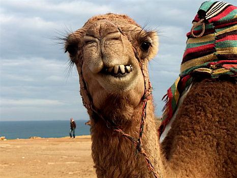 Camel in Morocco, makes me laugh every time!