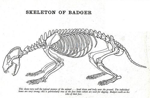 1960s animals of britain monographs skeleton diagrams animal rh in pinterest com Squirrel Organs Diagram Grey Squirrel Skeletal Diagram