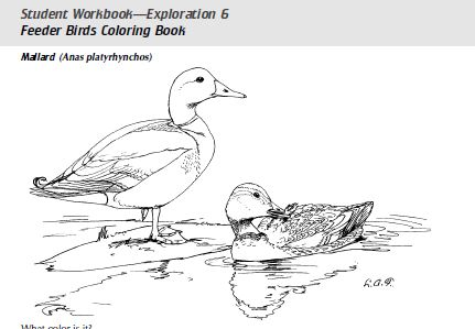 Two Mallard Ducks Coloring Page From Category Select 28148 Printable Crafts Of Cartoons Nature Animals Bible And Many More