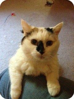 Westwood Nj Turkish Van Meet Ella Urgent A Cat For Adoption Kitten Adoption Turkish Van Cats Cat Adoption