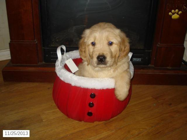 Jonathan Golden Retriever Puppy For Sale In Neptune Nj Golden