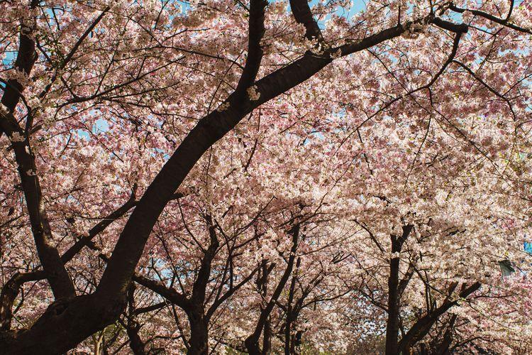 Best Ways To Enjoy The Washington Dc Cherry Blossom Festival Cherry Blossom Festival Cherry Blossom Blossom