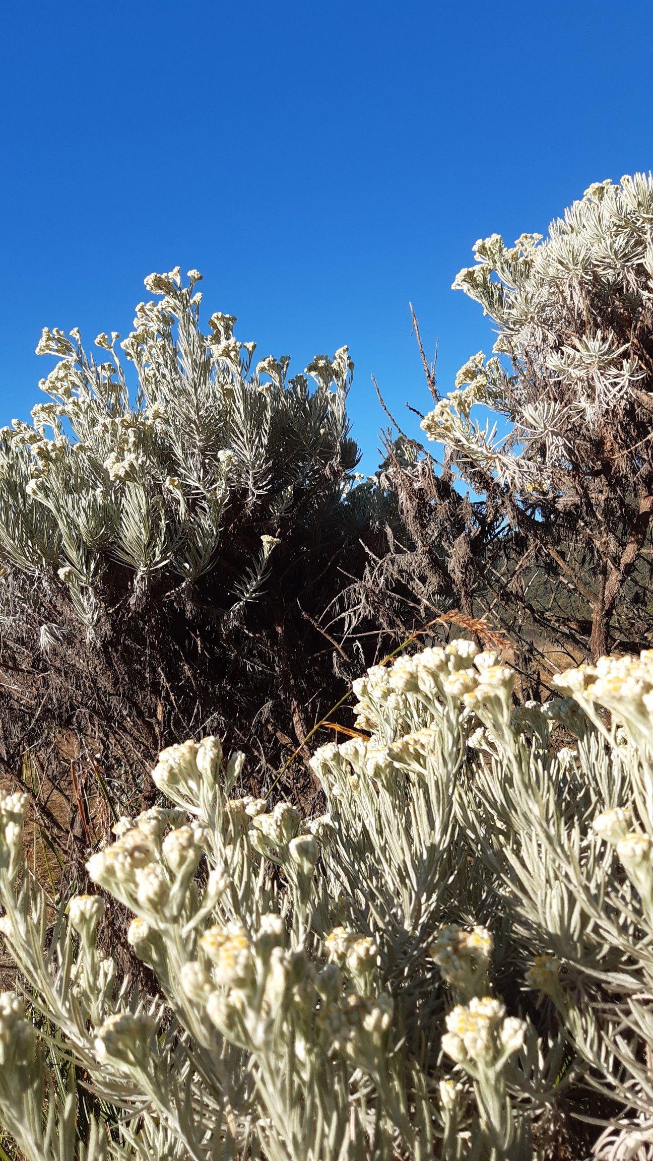 Edelweiss Bunga Mendaki Kecantikan