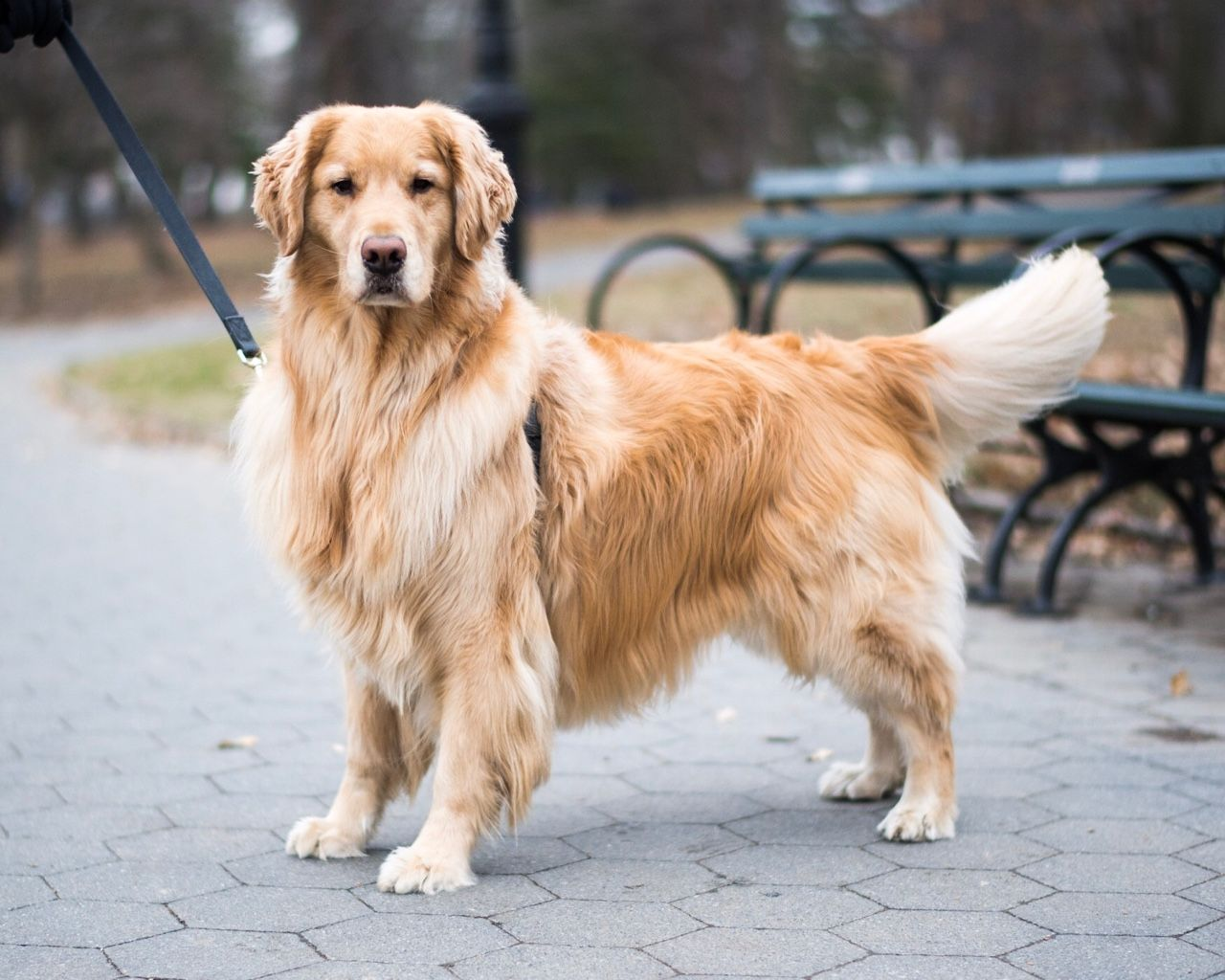 Roger Golden Retriever 4 Y O Central Park New York Ny His