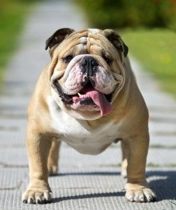 English Bulldog Breed A Complete Guide Bulldog Breeds Dogs